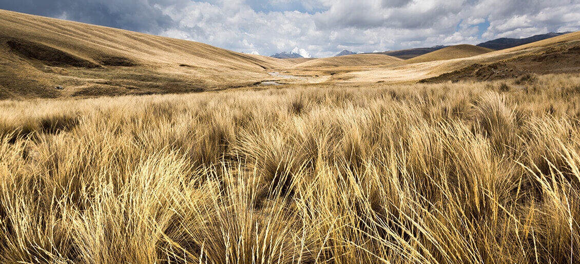 Straw fiber plant Andean highlands Qeswachaka bridge.